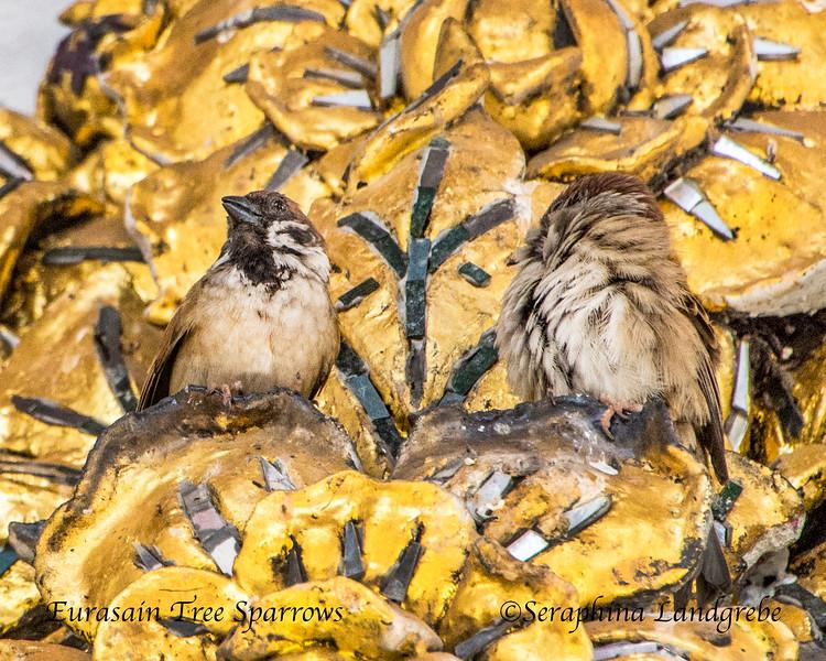 _DSC4291Treee sparrows temple.jpg