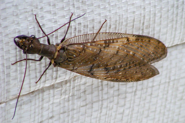 Megaloptera - Alderflies, Dobsonflies, Fishflies