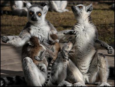 15 april 2010 -  Lemurdagen