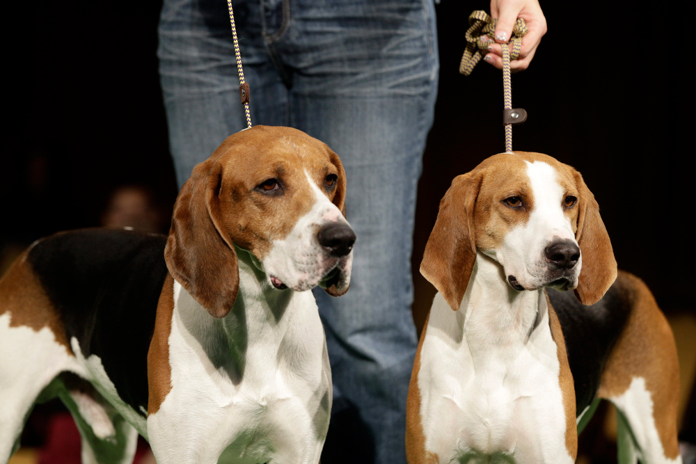 . Xcetera, left, and Meg, treeing Walker coonhounds, are shown during a press conference to announce the 137th Annual Westminster Kennel Club dog show Thursday, Feb. 7, 2013, in New York. The show features dogs from 187 different breeds and varieties with a pair of newcomers, the treeing Walker coonhound and the Russell terrier. (AP Photo/Frank Franklin II)