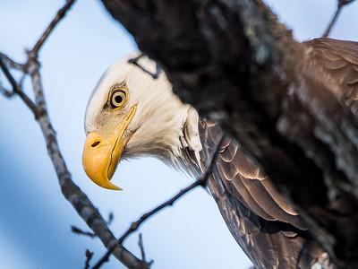 01 Eagle at Lake Atalanta (Jan 17)