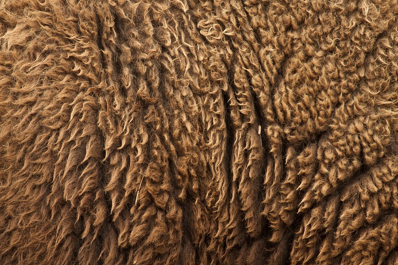 Bison Teddy Roosevelt National Park ND IMG_7001.jpg