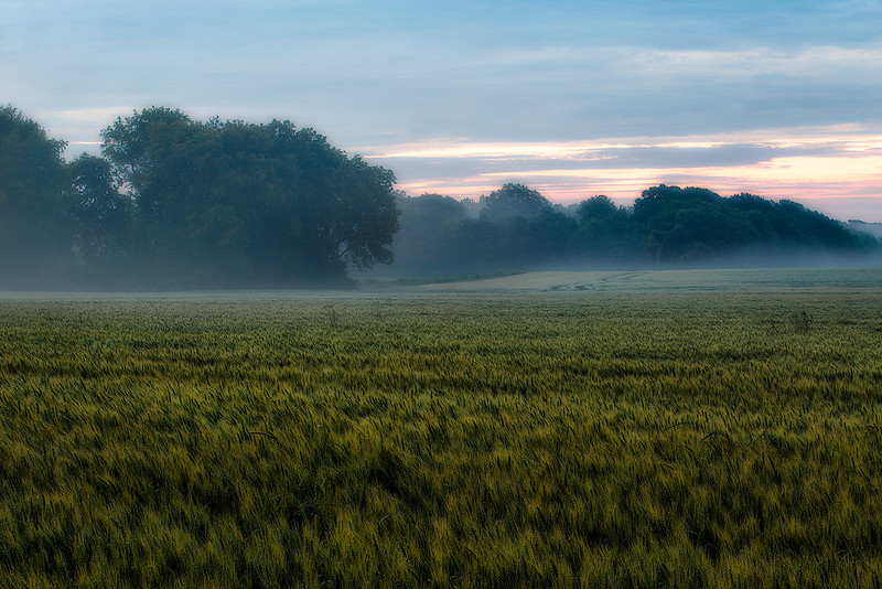 Foggy Morning Wheat Field web.jpg