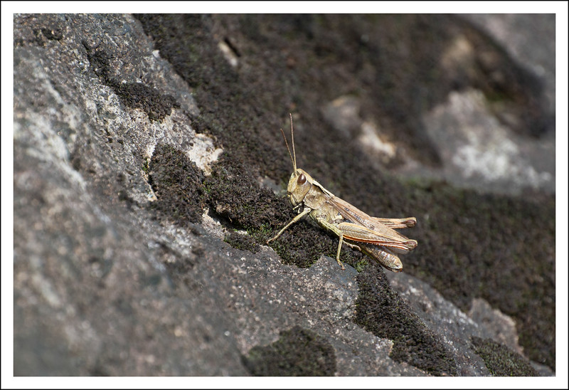 This grasshopper was hanging out on the big rock by the shrine.
