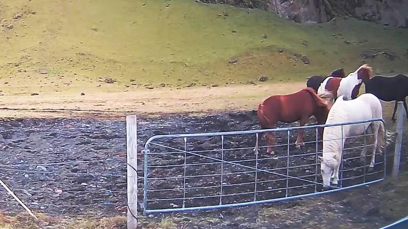 Icelandic Horses 2.mp4