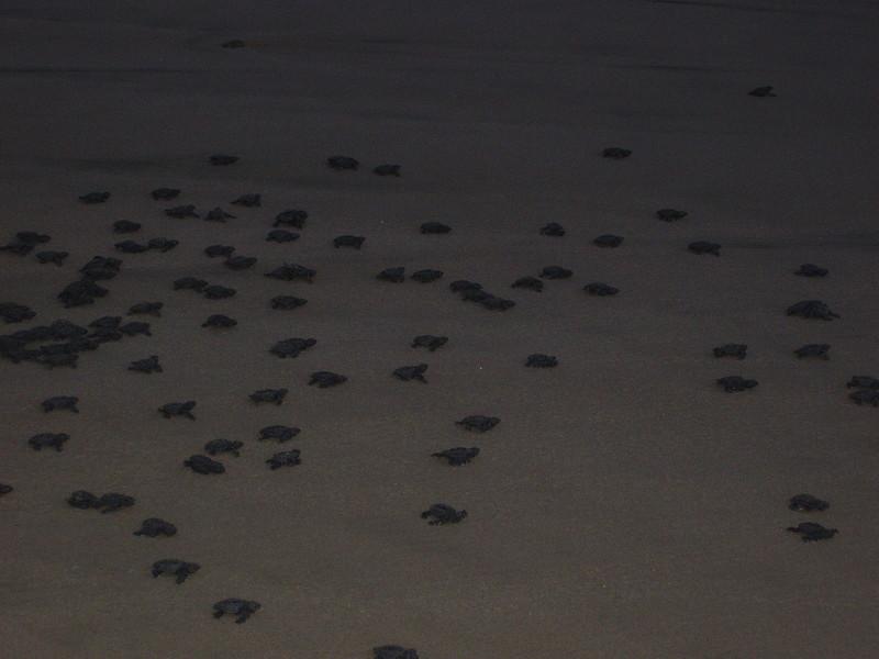 2007-11-30-0040-Las Alamandas in Jalisco, Mexico with Hahns-Sea Turtles Hatched from Rescued Eggs at Las Almandas.jpg