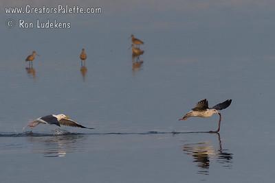 Western Gulls Fighting Over Eel