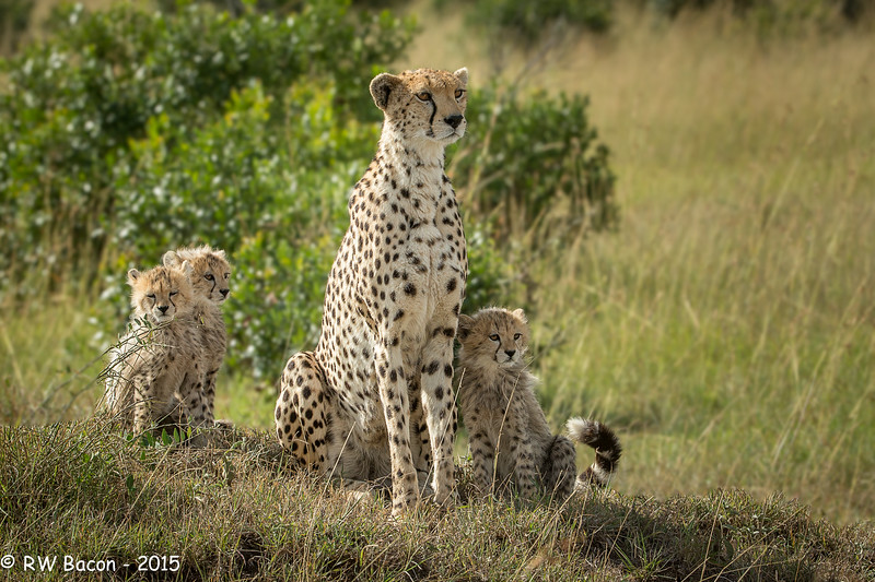 Mara Cheetah Mother and Cubs.jpg