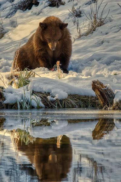 Tahoe Bear Fall 2020-2.jpg