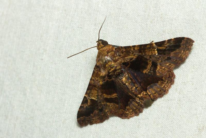 Owlet moth (Erebidae: probably Metria sp.) from Panama.