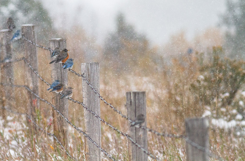 Mountain Bluebird flock on barbed wire fence in snow Theodore Roosevelt National Park Medora ND  IMG_1800.jpg