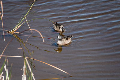 03_Everglades - Blue-Winged Teal