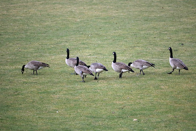 Geese on Lawns 1-15-21