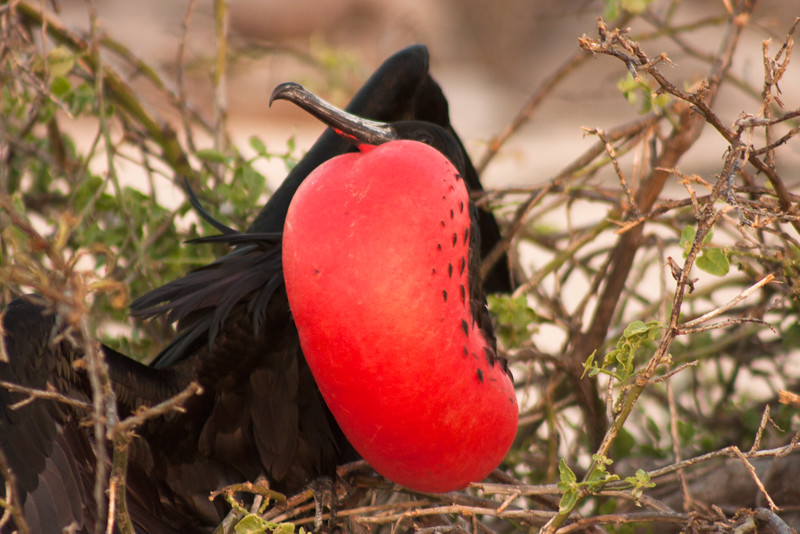 Journey into Baltra Island in the Galapagos Archipelago 49 Male Frigate Bird