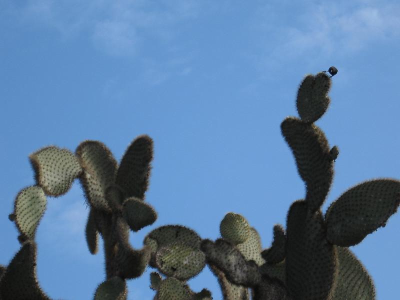 Cactus finch gps07.JPG