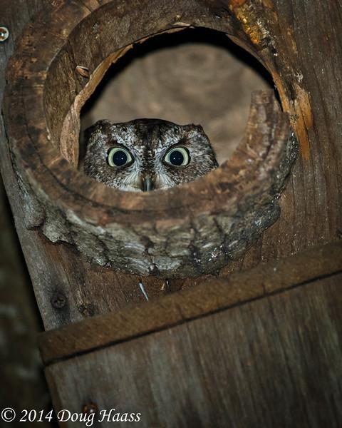 Gray Morph Eastern Screech Owl