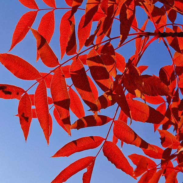 """""""Red Leaves"""" by Vinod Variyam"""