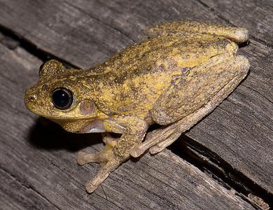 Litoria - Tree Frogs