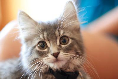 Caly (kitten)