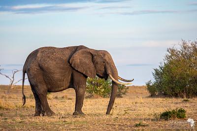 Big momma elephant