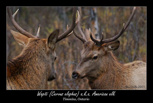 Wapiti (a.k.a. elk)