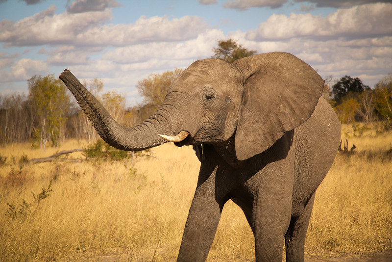 'Elephant Trunk' - The elephant trunk is the most extraordinary and the most dexterous nose in creation.