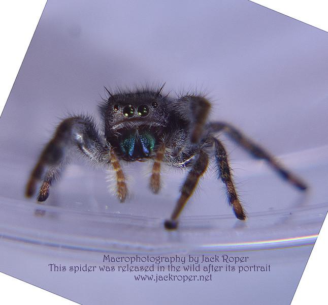 JUMPING Spider portrait   DSC_7407.jpg