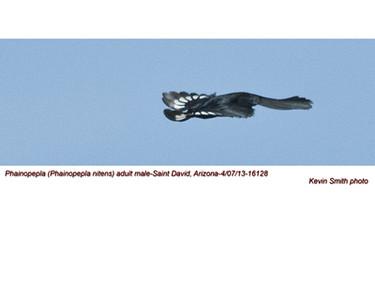 PhainopeplaM16128.jpg