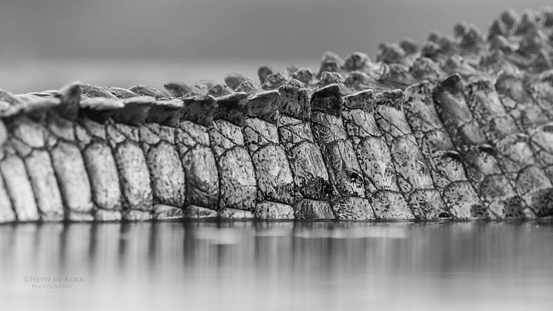 Nile Crocodile, b&w, Zimanga, South Africa, May 2017-2.jpg