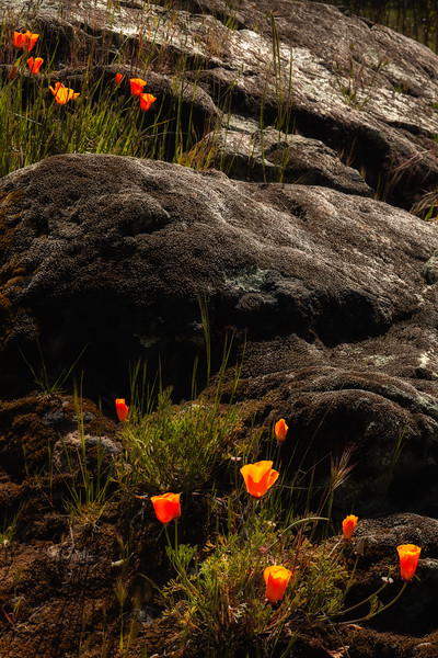 Poppies 1, Henry Coe State Park, California, 2010