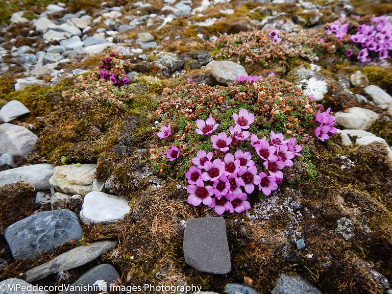 flower in the Artic