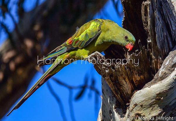 Harmoni-photography-Parrots