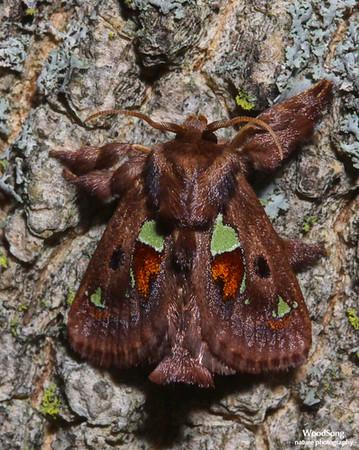 Families Limacodidae & Oecophoridae