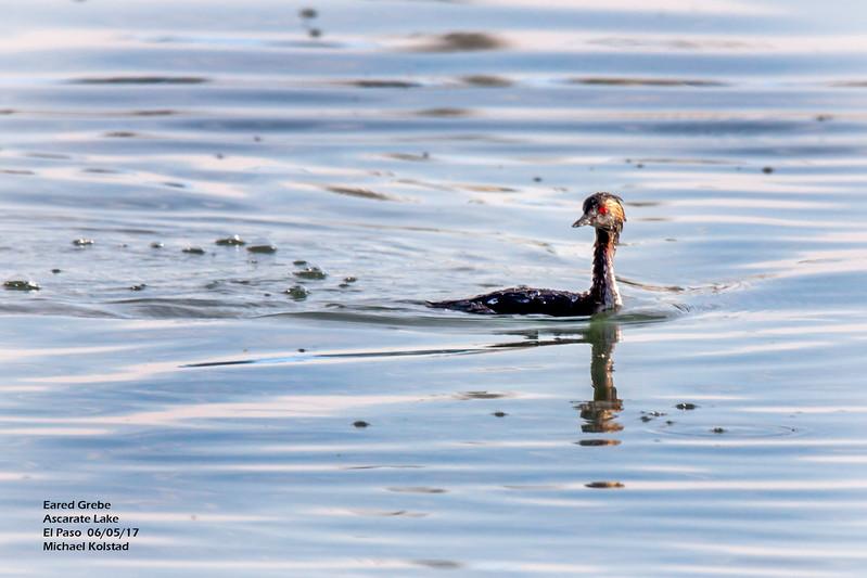 IMG_3091 3T ^ Eared Grebe Ascarate Lake.jpg