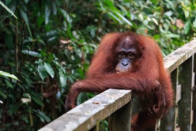 Sepilok Orangutans & Sunbears