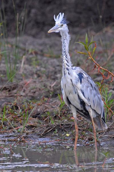 Black-headed Heron.JPG