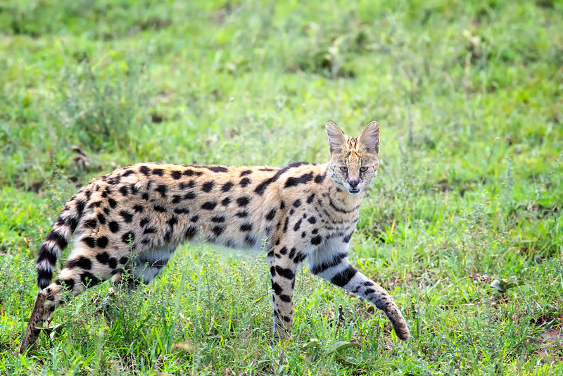 Serval Serengeti