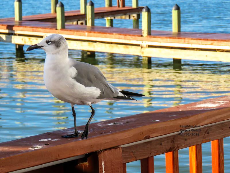 IMG_1747 3T Laughing Gull Corpus Christi.jpg