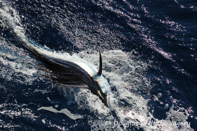 sailfish9.jpg