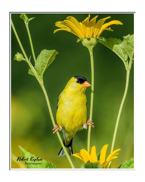 American Goldfinch Framed-7848.jpg