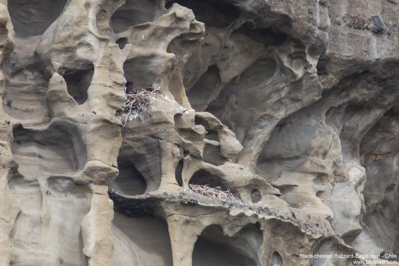 Black-chested Buzzard-Eagle nest - Chile