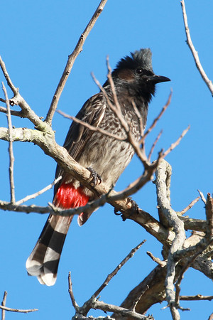 Red Vented Bul Bul