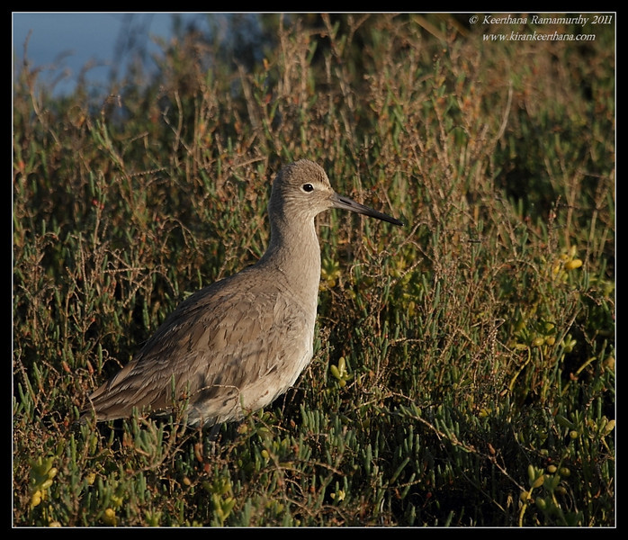 Willet, Bolsa Chica Ecological Reserve, Orange County, California, February 2011