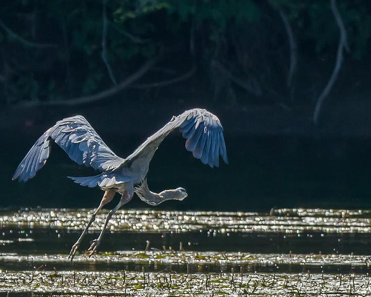 Great Blue Herron in Flight