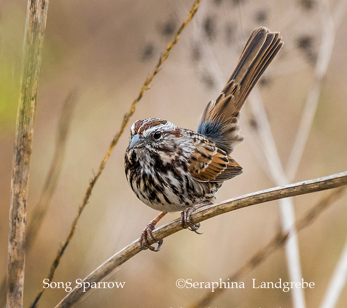 _DSC9060Song Sparrow.jpg