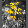October 25, 2014<br /> <br /> Yellow Leaves<br /> <br /> (298/365)<br /> <br /> Daily theme: Y is for...<br /> #fmsphotoaday