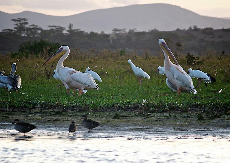 Fugleparadis. Naivashasjøen er som en av få store vannkilder i området et eldorado for fugler av alle arter og former. Naivasha, oktober 2006. *** Bird's Paradise. Lake Naivasha, as one of the few larage water sources in the area, is an eldorado for birds of all species and shapes. Lake Naivasha, October 2006. (Foto: Geir)