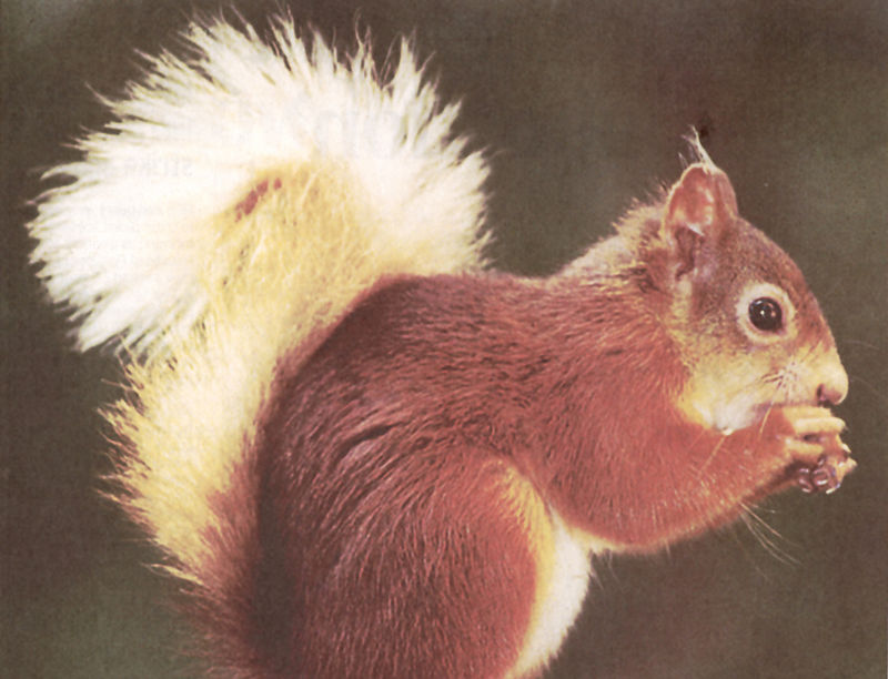 mr red squirrel.jpg