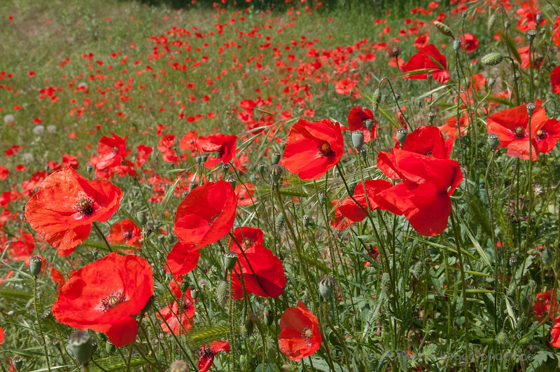 Lot of Poppies in the Lot
