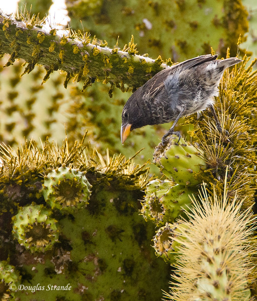 A Cactus Finch having a snack, South Plaza Island